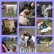 en adopción GOKU